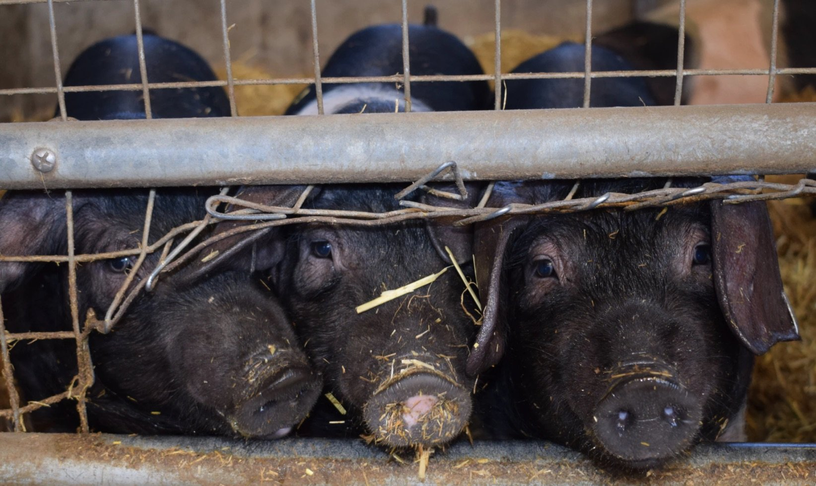 Pig rearing in France